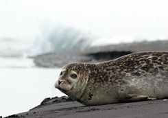 Seal on black sand beach