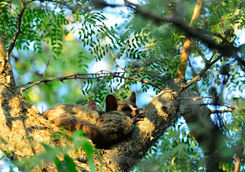 Bushbabies spleeping in a tree