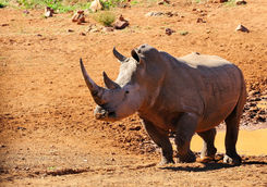 White rhinoceros in Marakele National Park