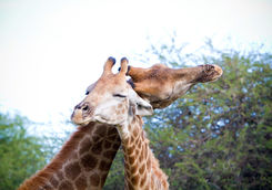 Giraffes bonding