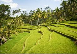 Ricefields in Ubud