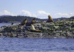Sea lions in San Juan Island