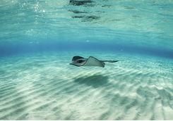 Stingray Fish