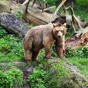 bear-in-the-rockies