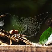 Spiders web in the Republic of Congo
