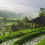 Ubud rice paddy