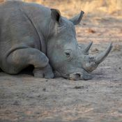 An injured rhino