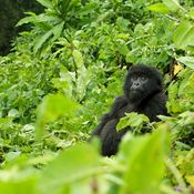 Baby Gorilla sitting in lush shrubbery