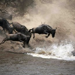 Wildebeest Migration in Kenya