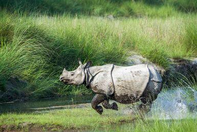 Asian rhino in water