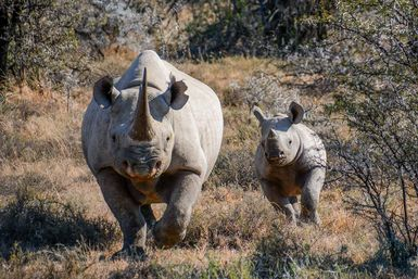Mother rhino with young