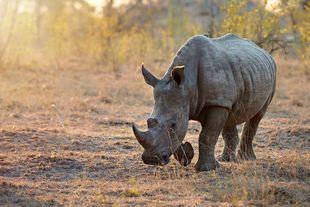 Young African rhino