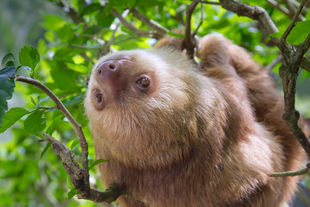 Two-toed sloth close up