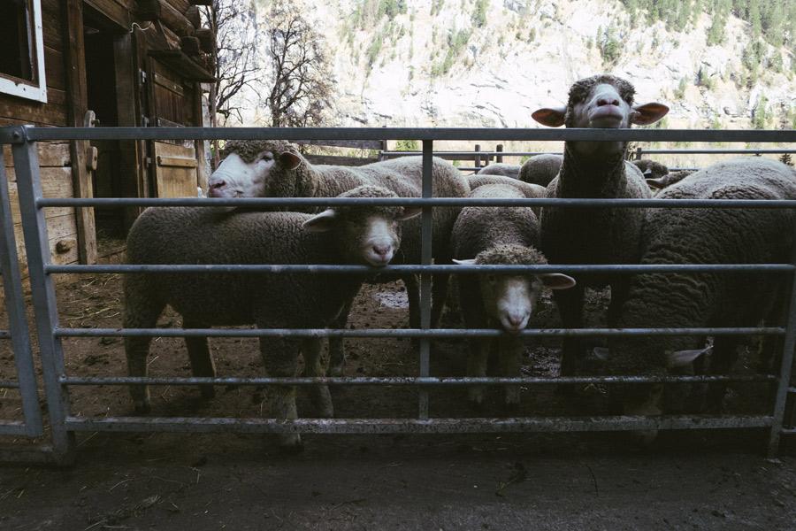 sheep-in-switzerland