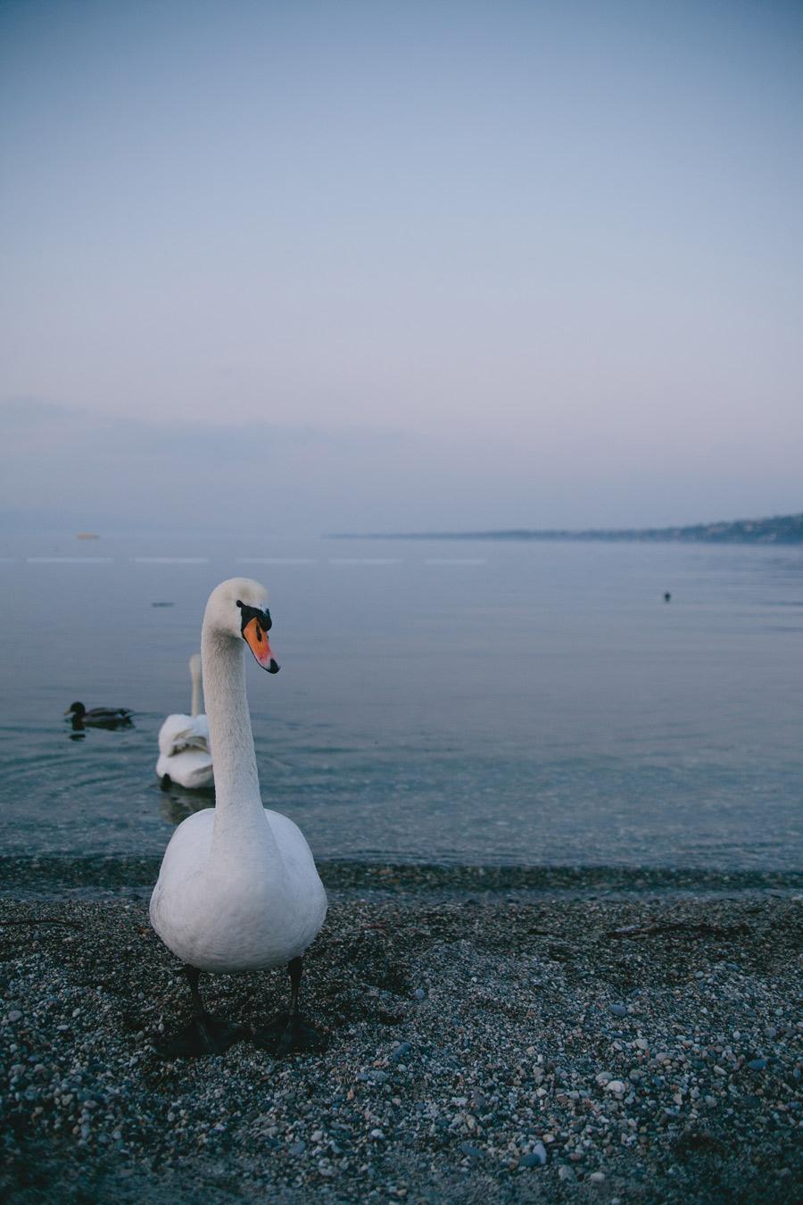 white-swan-on-shore-of-lake-geneva