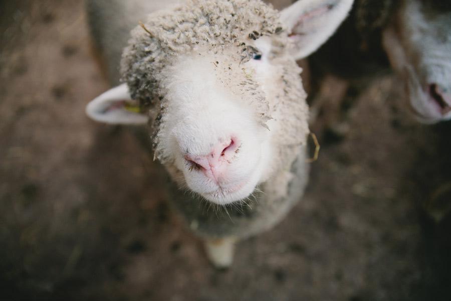 sheep-in-murren-switzerland