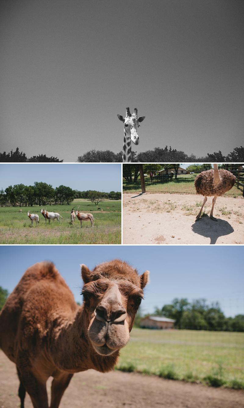 giraffe-camel-ostriches-texas-wedding