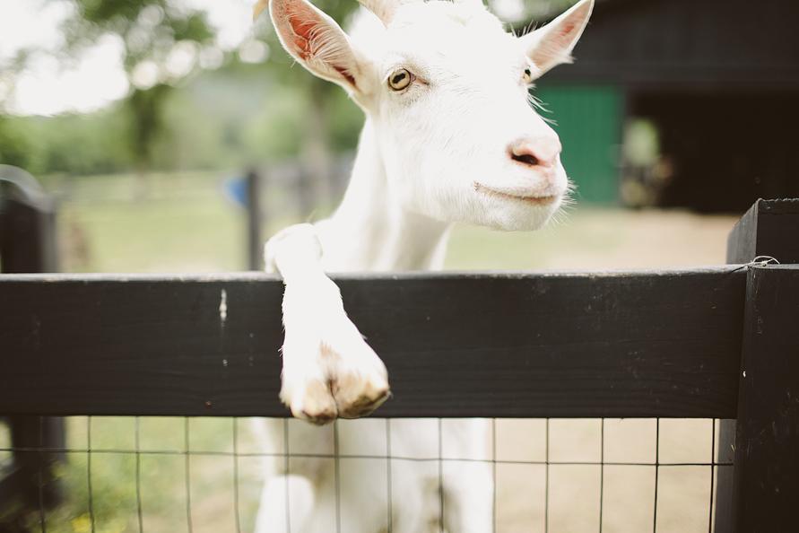 farm-goat
