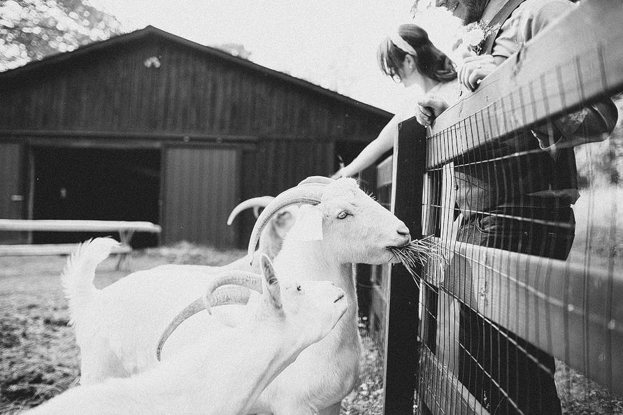 bride-and-groom-feeding-goats