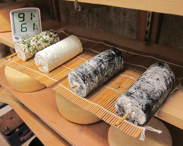 Here are the ash coated cheeses at about 5-6 days. Note the grey/white natural mold developing on the surface of the cheese.