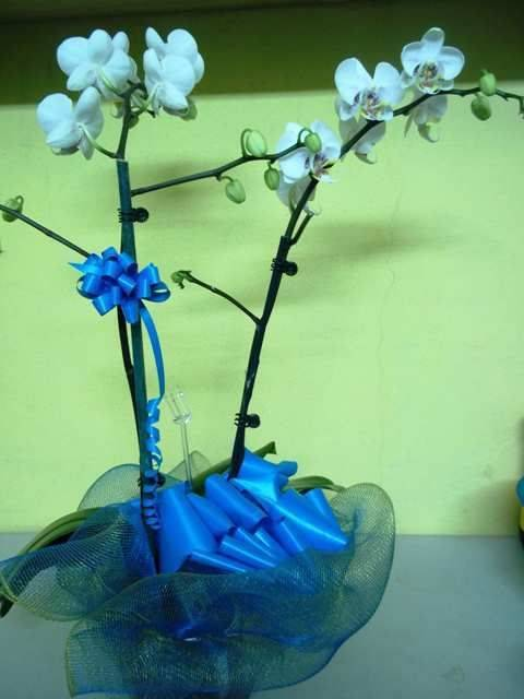 Phalaenopsis Orchids Plant (2 Sprays)