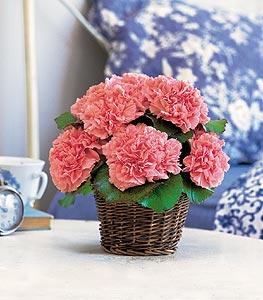 Carnation Expression Floral Arrangements