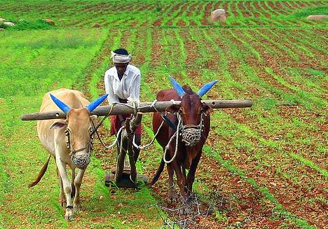 An Indian Farmer Uses Traditional Methods