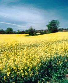 Rape Seed Flower Field FRS-4107