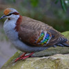 Brush Bronzewing.