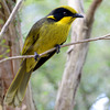Helmeted Honeyeater.
