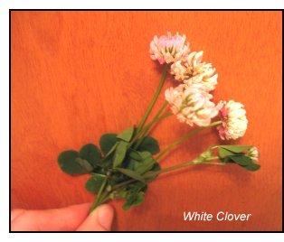 mineral-rich weeds, white clover