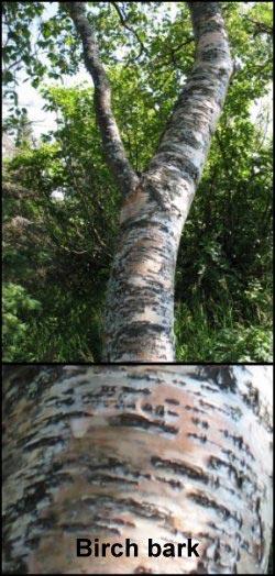 medicinal herbs birch bark
