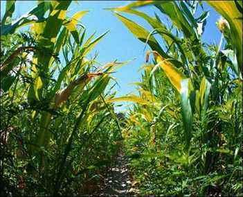 the corn story origin of corn