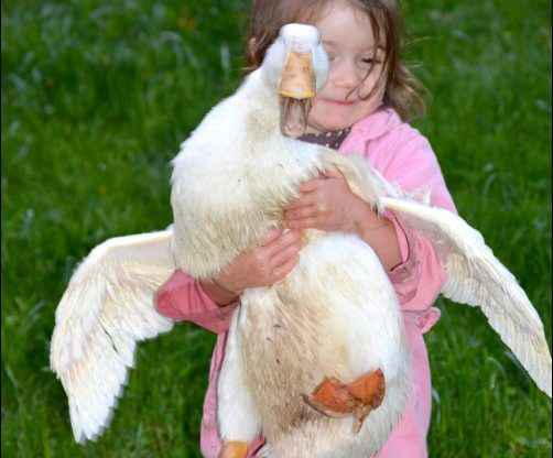 Adding Ducks To The Homestead Beginners Guide to Raising Ducks
