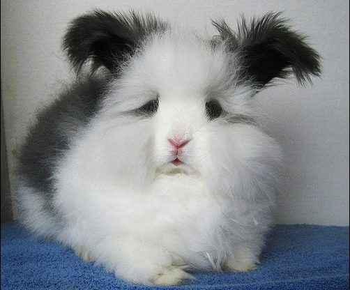 raising angora rabbits for fur