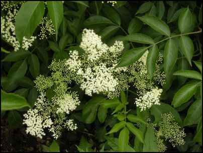 Elder: Heirloom Herb and Source of Elderberry Syrup