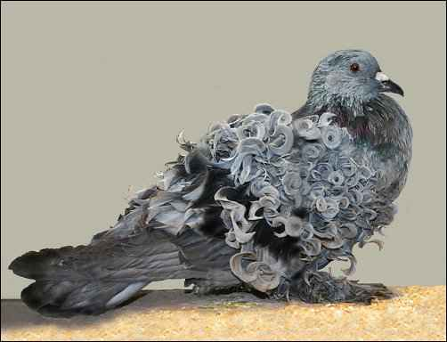 Choosing a Pigeon Breed for the Homestead