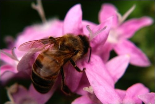 honey home remedies, Cooking with Honey, honey in home remedies, honey bee on pink flower
