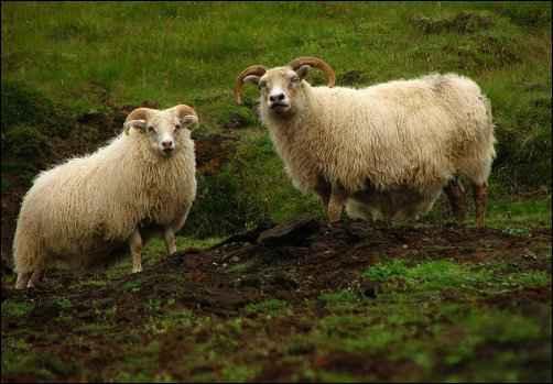 Raising Icelandic Sheep
