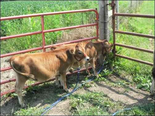 Itty Bitty Bovines: Raising Miniature Cattle Breeds