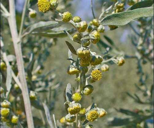 Artemisia Absinthium, wormwood, where does absinthe come from, absinthe origin