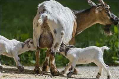 homesteading uses for goat milk, goat milk products, Goat Milk Recipes