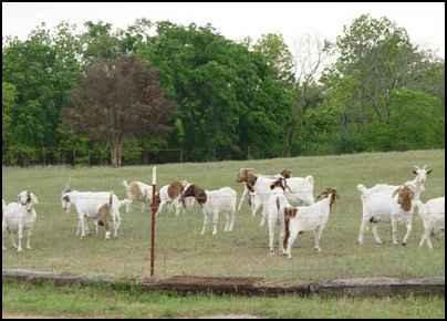 homestead goats
