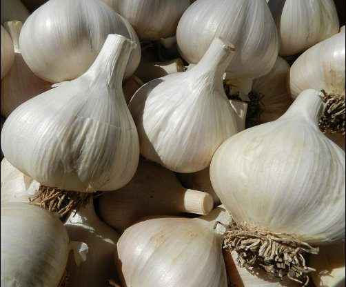 grow garlic bulbs