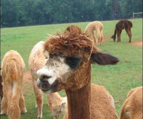 I had heard about humming alpacas and had to learn more. I decided I would have to have a visit to an alpaca farm as soon as possible. humming alpaca, homesteading