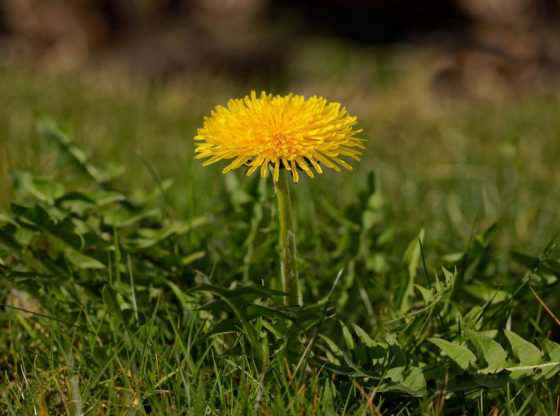 Mineral-rich Weeds, homesteading