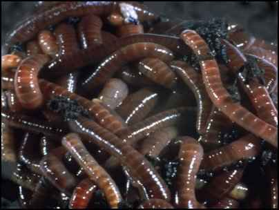 Raising Earthworms for Compost | Composting with Worms
