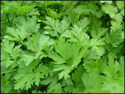 Parsley Growing Tips, Facts about Parsley
