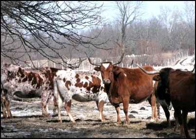 Longhorns on the Homestead