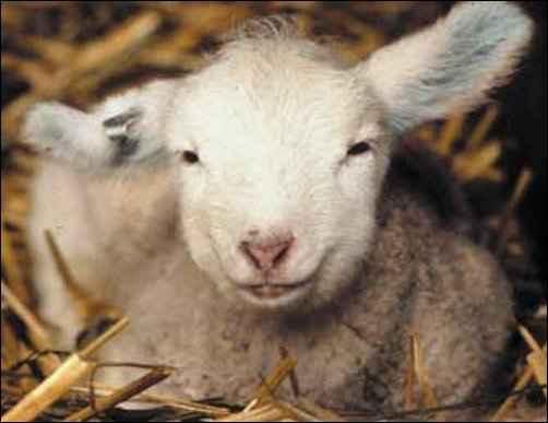 never Lamb in January